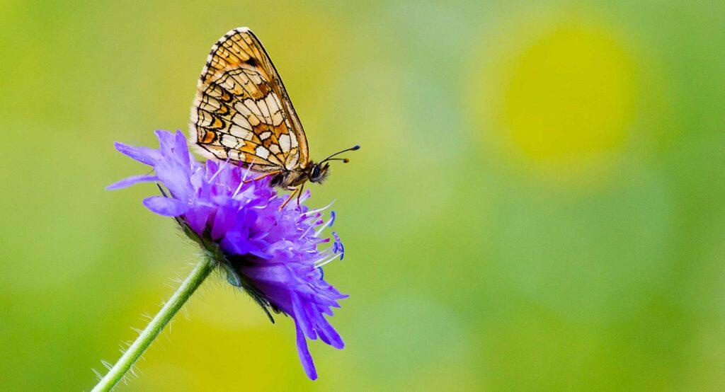 Bild på Skogsnattfjäril på lila blomma.